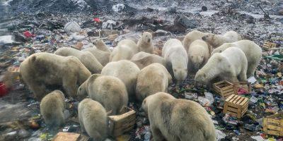 arctic_ursi_incalzire_globala