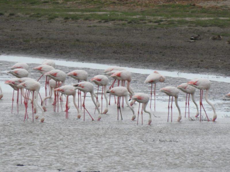 flamingo-delta-dunarii