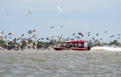 pelicani ambarcatiune