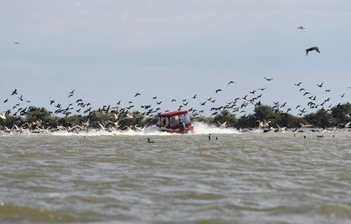 pelicani-ambarcatiune