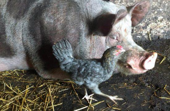 proteine-porci-pasari